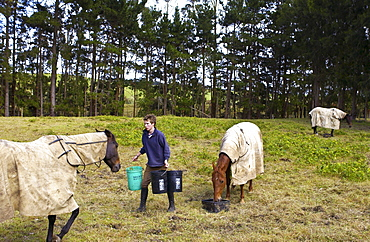 Young man feeds horses in a paddock in New Zealand