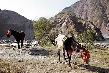 Donkeys from Brooke Hospital for Animals graze in village of Pattika, Pakistan