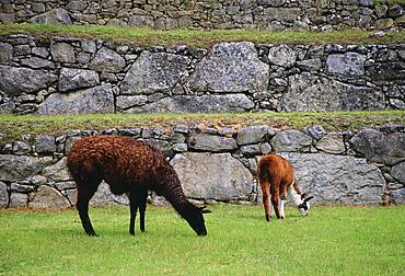 Llamas graze by Machu Picchu ruins of Inca citadel in Peru, South America