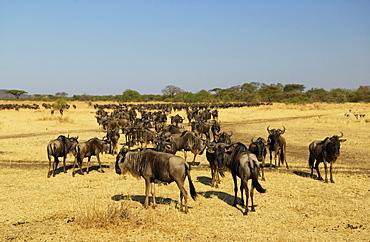 Herd of migrating Blue Wildebeest, Grumeti, Tanzania