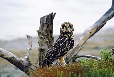 Eagle Owl, Camargue, France
