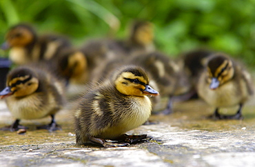 Mallard ducklings just two days old, Cotswolds, England
