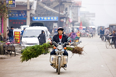 Man transporting Cypress trees by moped for traditional tree planting day in Baisha, near Guilin, China