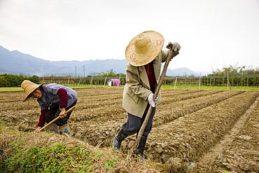 Women working at a tree plantation at Zhong Yong near Guilin, China