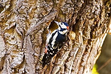 Great Spotted Woodpecker makes nesting hole in Poplar tree , Hampstead, London, United Kingdom