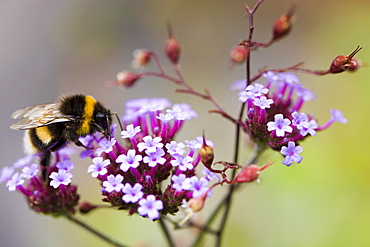 Bumble bee gathering nectar from Verbena bonariensis flower in herbaceous border of country garden, UK