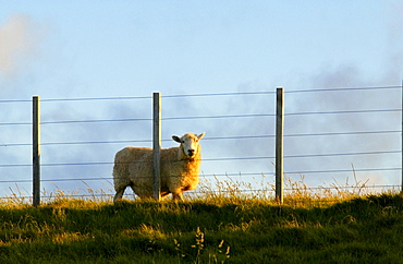 Sheep behind fencing on a farm in North Island, New Zealand
