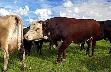 Bull scents cow on a farm  near Waiuku on North Island  in New Zealand