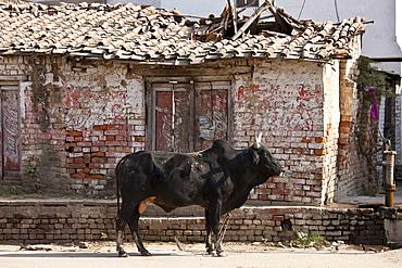 Bull in street scene in Nandi near Varanasi, Benares, Northern India