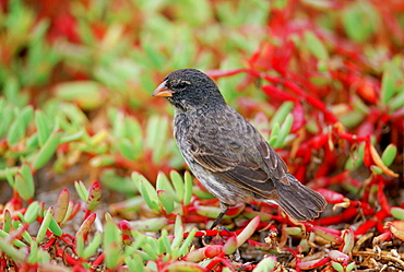 Darwin Finch bird, Santa Cruz, the Galapagos Islands, Ecuador