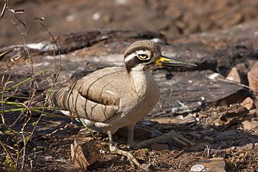Indian Stone Plover bird, Burhinus oedicnemus indicus, in Ranthambhore National Park, Rajasthan, Northern India