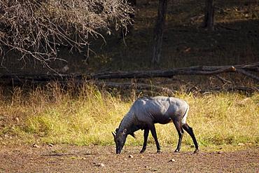 Nilgai Blue Bull antelope, Boselaphus tragocamelus, in Ranthambhore National Park, Rajasthan, India