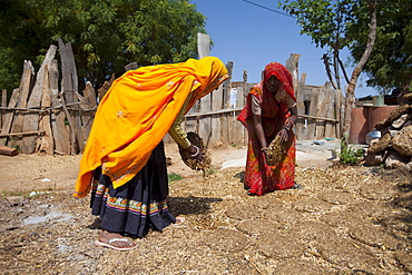 Indian woman villagers drying cow dung for cooking fuel at Kutalpura Village in Rajasthan, Northern India