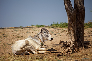 Indian cow tethered for milk at farm smallholding at Kutalpura Village in Rajasthan, Northern India