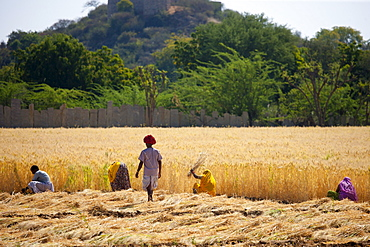 Barley crop being harvested by local agricultural workers watched by farmer in fields at Nimaj, Rajasthan, Northern India