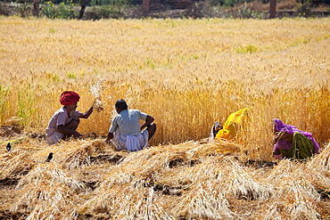 Barley crop being harvested by local agricultural workers and the farmer wearing turban in fields at Nimaj, Rajasthan, Northern India