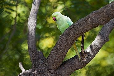 Indian Rose-Ringed Parakeet, Psittacula krameri, on tree branch in village of Nimaj, Rajasthan, Northern India