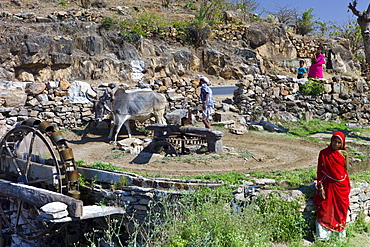 Farmer using pair of oxen to turn water wheel to draw water from well for irrigation at Samad in Pali District of Rajasthan, Western India