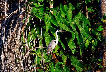 Heron at Lake Sandoval, Peruvian Rainforest, South America