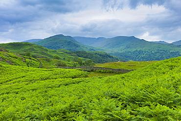 Dense bracken on country walk near Lake Windermere in the Lake District National Park, Cumbria, UK