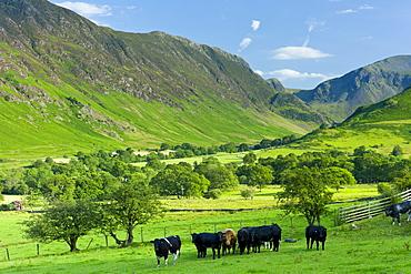 Cattle in pastureland by Maiden Moor in Derwent Fells, Cumbrian mountains near Derwentwater in Lake District National Park, UK