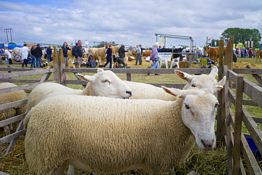 Sheep at Moreton Show, agricultural event at Moreton-in-the-Marsh Showground, The Cotswolds, Gloucestershire, UK