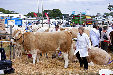 Pedigree British Simmental cows at Moreton Show, Moreton-in-the-Marsh Showground, The Cotswolds, Gloucestershire, UK