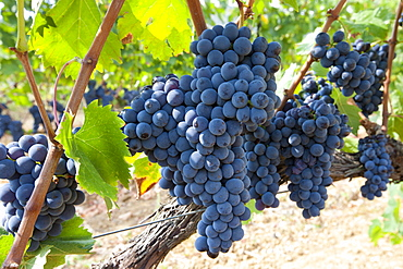 Ripe Brunello grapes, Sangiovese, growing on vine at wine estate in region of Montalcino in Val D'Orcia, Tuscany, Italy