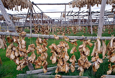 Air drying fish heads in Iceland.  In this traditional food production process they are left hanging from poles until fully dried out.