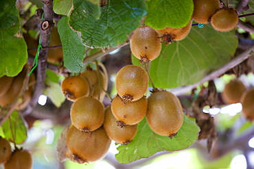 Kiwi fruit growing farm estate of La Fornace at Montalcino in Val D'Orcia, Tuscany, Italy