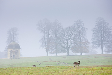 Deer in misty scene at Barrington Park near Burford in The Cotswolds, Oxfordshire, UK