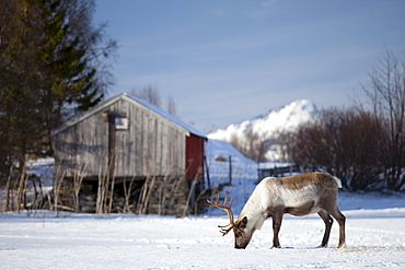 Reindeer grazing in the snow in arctic landscape at Kval?ysletta, Kvaloya Island, Tromso in Arctic Circle Northern Norway