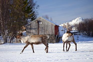 Reindeer herd in the snow in arctic landscape at Kval?ysletta, Kvaloya Island, Tromso in Arctic Circle Northern Norway