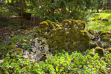 Drystone wall in disrepair on edge of woodland in Swinbrook in the Cotswolds, Oxfordshire, UK