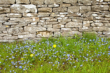 Forget-Me-Not, Myosotis arvensis, wildflowers and dandelions by drystone wall  in springtime in Swinbrook in the Cotswolds, UK