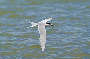 White-fronted tern  (Sterna Striata) in flight with fish in beak, across the Hauraki Gulf off the Coromandel Peninsula,  North Island, New Zealand