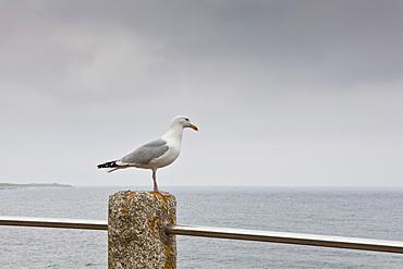 Lone seagull, Helford, Helston, Cornwall, England, UK