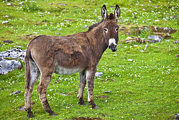 Traditional Irish donkey in The Burren, County Clare, West of Ireland