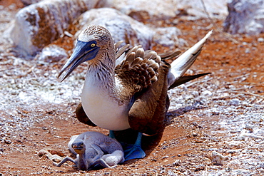 Blue-footed Booby bird on the Galapagos Islands, Ecuador  sheltering young chicks