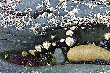 Rockpool with barnacles, mussels, limpets and seaweed at Kilkee, County Clare, West Coast of Ireland