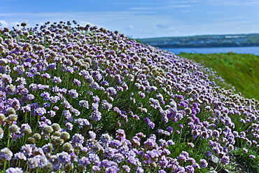 Native seaside Thrift sea pink flower plant Armeria maritima - Plumbaginaceae in Kilkee, County Clare, West of Ireland