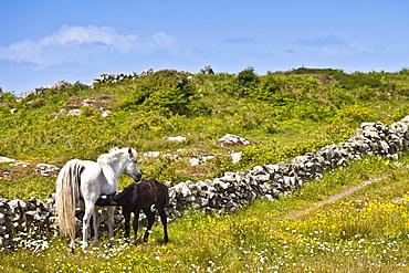 Connemara pony mare with foal suckling in buttercup meadow, Connemara, County Galway, Ireland
