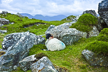 Mountain sheep ram sheltering among rocks on the Old Bog Road near Roundstone, Connemara, County Galway