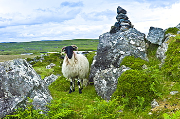 Mountain sheep ram shelted by rocks on the Old Bog Road near Roundstone, Connemara, County Galway