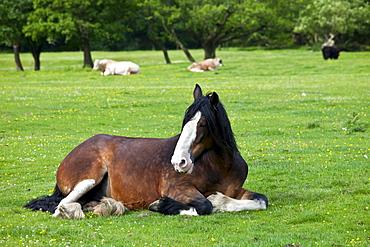 Welsh horse lying down in meadow in Snowdonia, Gwynedd, Wales