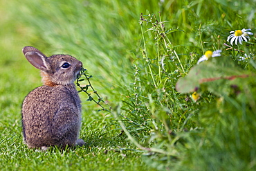 Wild young rabbit sniffing wildflower in country garden, The Cotswolds, Oxfordshire, United Kingdom