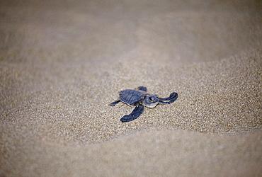 Loggerhead sea turtle, Caretta caretta, on the beach in Northern Cyprus
