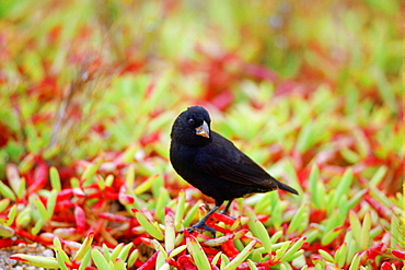 DarwinFinch bird, Santa Cruz,  the Galapagos Islands, Ecuador