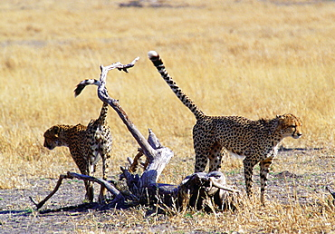 Cheetas scent marking their territory, Moremi, Botswana, Southern Africa
