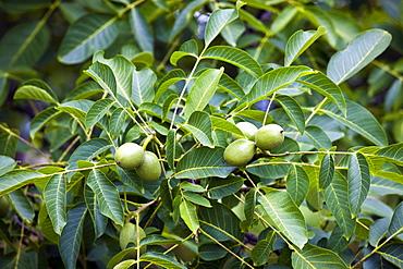 Walnut tree, Nux Gallica, near St Amand de Coly, Perigord region, Dordogne, France